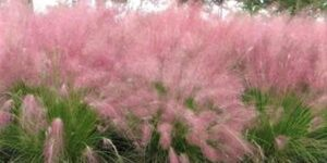 Pink Muhly Grass Garden Plant