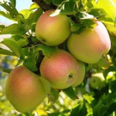 Pink Pearl Apple Tree Garden Plant