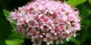 Pink Sparkler Spirea Garden Plant