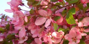 Pink Spires Crabapple Garden Plant