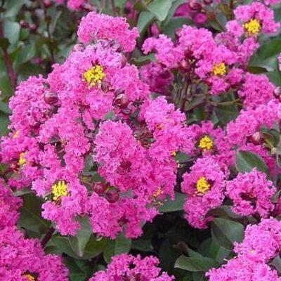Pink Velour Crape Myrtle Tree Form Garden Plant