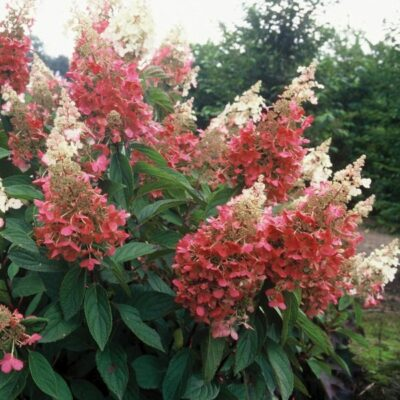 Pinky Winky Hydrangea Garden Plant