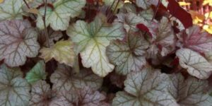 Pinot Gris Coral Bells Garden Plant