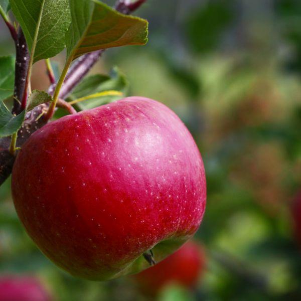 Pixie Crunch Apple Tree Garden Plant