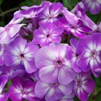 Pixie Miracle Grace Phlox Garden Plant