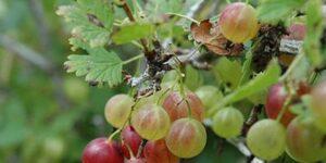 Pixwell Gooseberry Garden Plant
