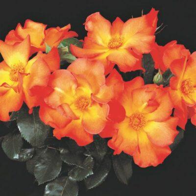 Playboy Rose Garden Plant