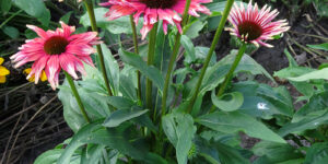 Playful Meadow Mama Coneflower Garden Plant