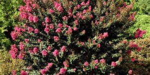 Plum Magic Crape Myrtle Garden Plant