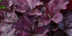 Plum Royale Coral Bells Garden Plant
