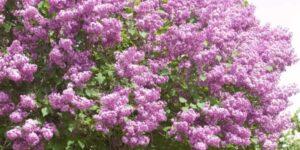 Pocahontas Lilac Garden Plant