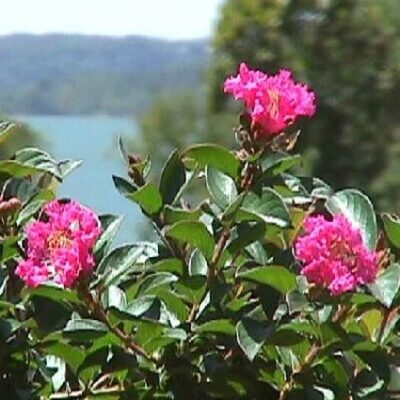 Pocomoke Crape Myrtle Garden Plant