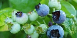 Polaris Blueberry Garden Plant