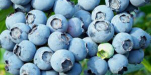 Powder Blue Blueberry Garden Plant