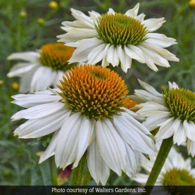 PowWow White Coneflower Garden Plant