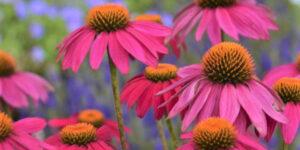 PowWow Wild Berry Coneflower Garden Plant