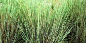 Prairie Blues Little Bluestem Grass Garden Plant