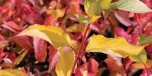 Prairie Fire Dogwood Garden Plant
