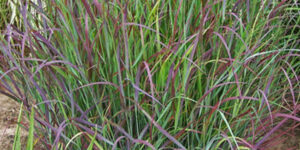Prairie Winds Cheyenne Sky Red Switch Grass Garden Plant