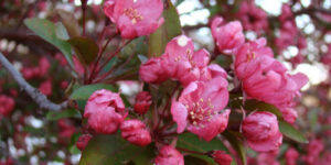 Prairifire Crabapple Garden Plant