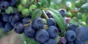 Premier Blueberry Garden Plant