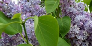 President Grevy Lilac Garden Plant