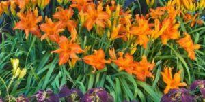 Primal Scream Daylily Garden Plant