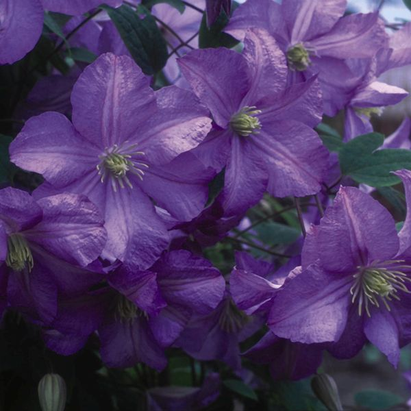 Prince Charles Clematis Garden Plant
