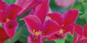 Princess Diana Clematis Garden Plant