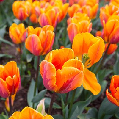 Princess Irene Bloom Pad Garden Plant