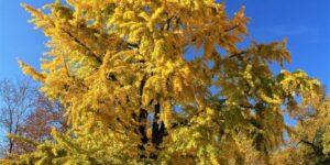 Princeton Sentry Ginkgo Garden Plant