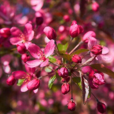 Profusion Crabapple Garden Plant