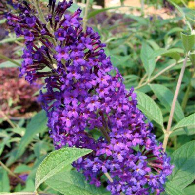 Psychedelic Sky Butterfly Bush Garden Plant