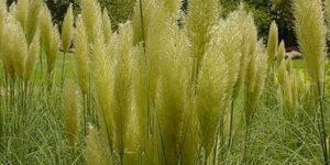 Pumila Dwarf Pampas Grass Garden Plant