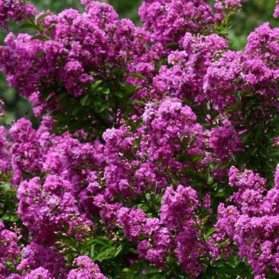 Purple Crape Myrtle Garden Plant