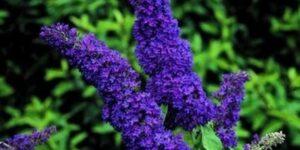 Purple Emperor Butterfly Bush Garden Plant
