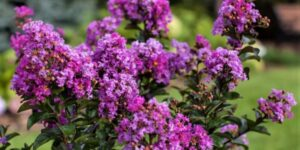 Purple Magic Crape Myrtle Garden Plant