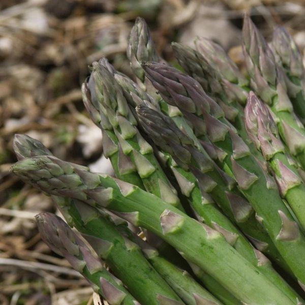 Purple Passion Asparagus Garden Plant