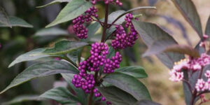 Purple Pearls Beautyberry Garden Plant