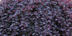 Purple Pixie Weeping Fringe Flower Garden Plant
