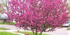 Purple Prince Crabapple Garden Plant