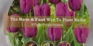 Purple Prince Tulip Easy Bloom Pad Garden Plant