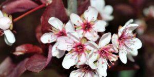 Purpleleaf Sand Cherry Garden Plant