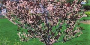 Purpleleaf Sand Cherry Tree Garden Plant