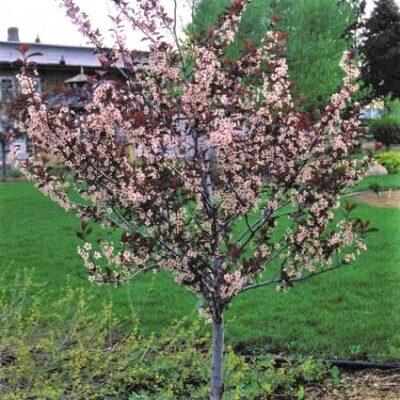 Purpleleaf Sand Cherry Tree Garden Plant
