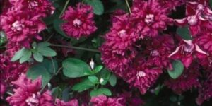 Purpurea Plena Elegans Clematis Garden Plant