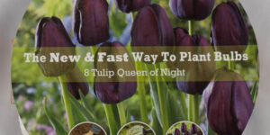 Queen of the Night Tulip Easy Bloom Pad Garden Plant
