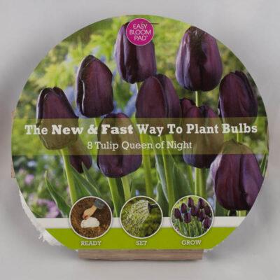 Queen of the Night Tulip Easy Bloom Pad Garden Plant