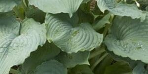 Queen of the Seas Hosta Garden Plant