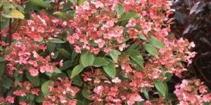 Quick Fire Hydrangea Garden Plant